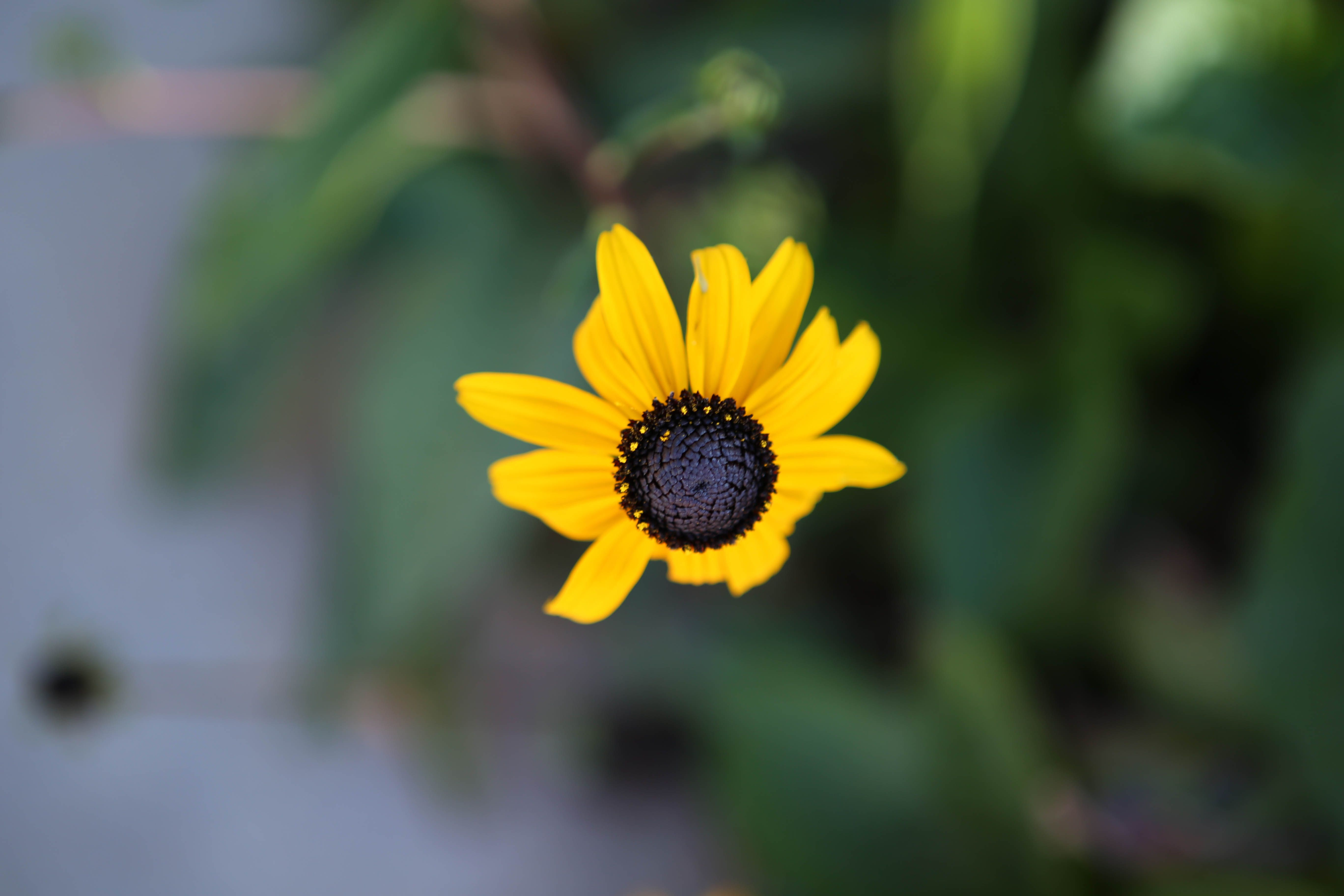 Chocolate flower blooms may to october sun requirement partial chocolate flower blooms may to october sun requirement partial sun mightylinksfo