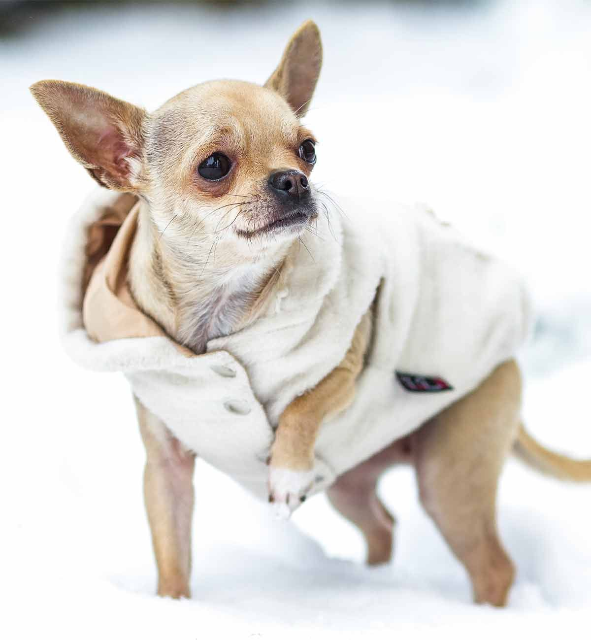 Chihuahua Clothes The Best Coats And Outfits For Chihuahua Dogs Chihuahua Dogs Clothes Chihuahua Puppy Clothes Chihuahua Clothes