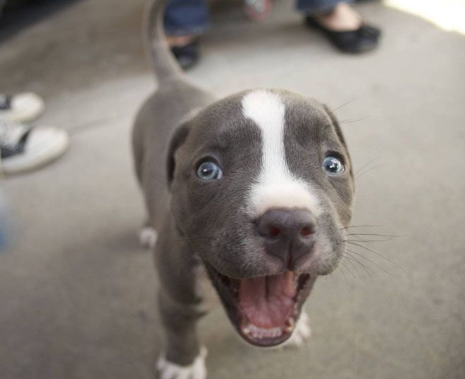 A grey and white puppy with its mouth wide open