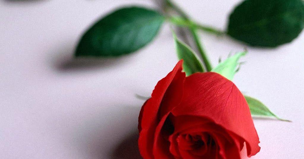 Gambar Gambar Bunga Yang Cantik Gambar Gambar Bunga Cantik Dan Indah Terbaru 2014 Gambar Gambar Download Mawar Bunga C Mawar Merah Mawar Pernikahan Bunga