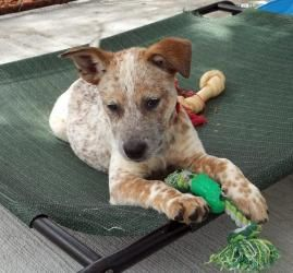 Adopt Quiana on Austrailian cattle dog, Australian