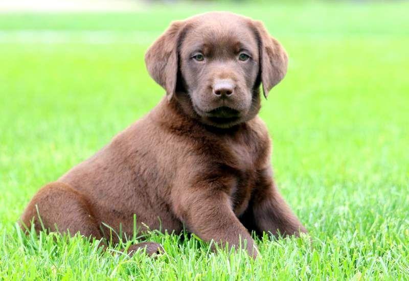 Shayla Labrador Retriever Yellow Puppy For Sale Keystone Puppies Labrador Retriever Labrador Labrador Dog