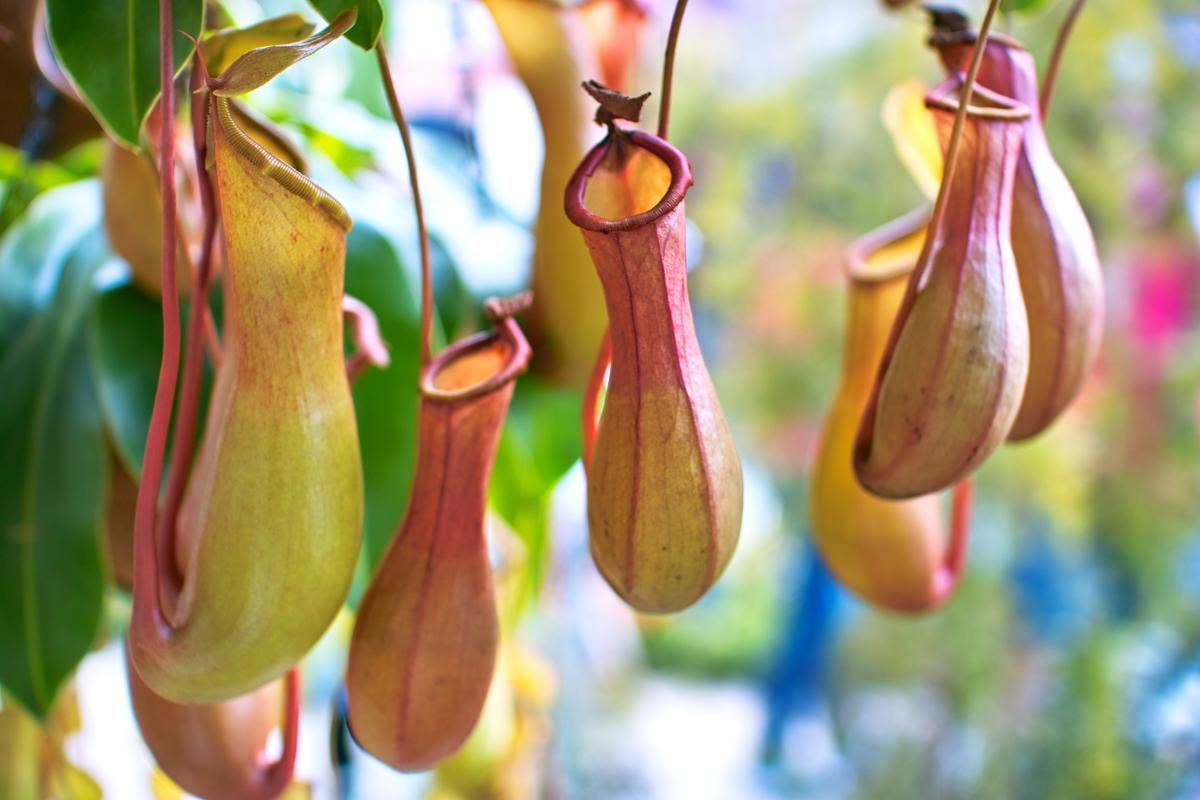 This Is How You Need To Take Care Of A Pitcher Plant Carnivorous