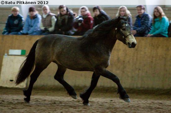 Connemara stallion Zitherbay Neil O'Hara