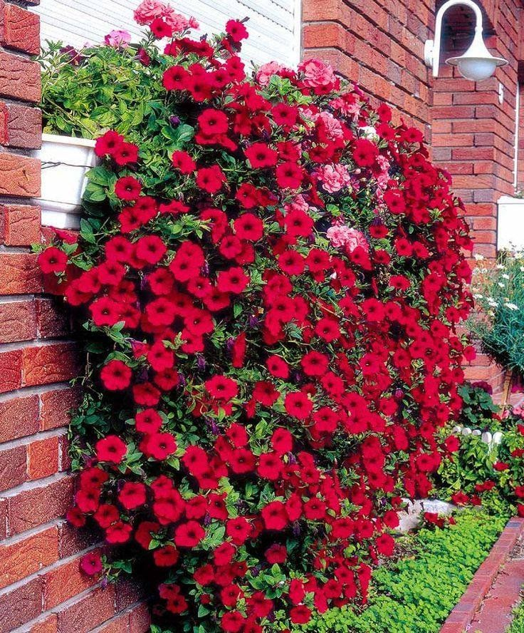 Petunias. on Pinterest | Hanging Baskets, Plants and Geraniums