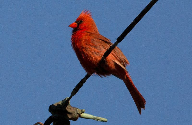 Cardinal wires C5142 | Birds for my rug | Pinterest | Bird