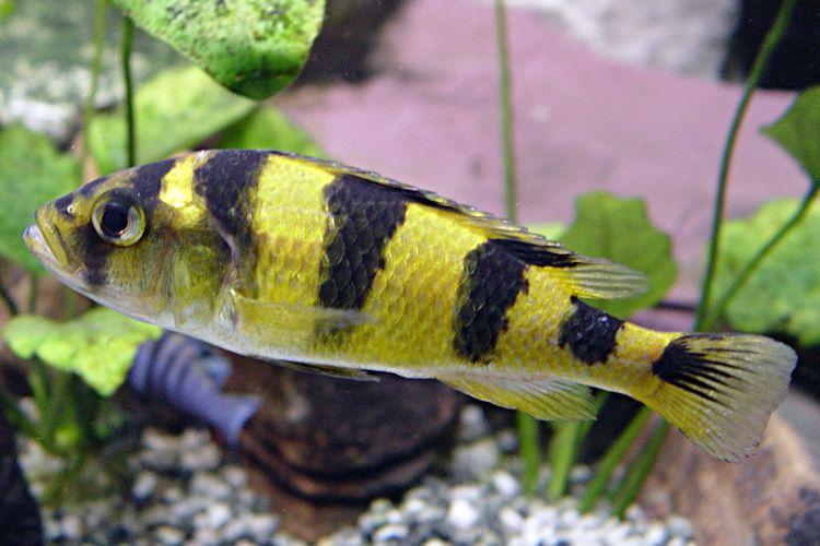 Zebra Obliquidens Astatotilapia Latifasciata Female Cichlids African Cichlids Fish Pet