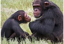 Image: File photo of Chimpanzees sitting in an enclosure at the Chimp Eden rehabilitation center near Nelspruit, South Africa (© Erin Conway-Smith/AP)