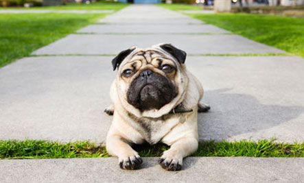 I M Done With My Walk Please Pick Me Up And Carry Me Home My Pugs