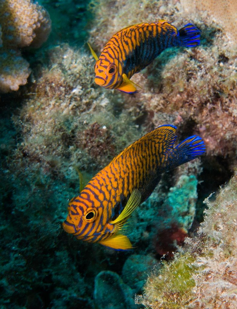 Potter S Angelfish Centopyge Pitteri Saltwater Aquarium Fish Sea Fish Saltwater Fish Tanks