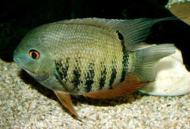 Heros Severus Banded Cichlid Or Severum May Eat Small Tetras Freshwater Aquarium Fish Aquarium Fish Beautiful Fish