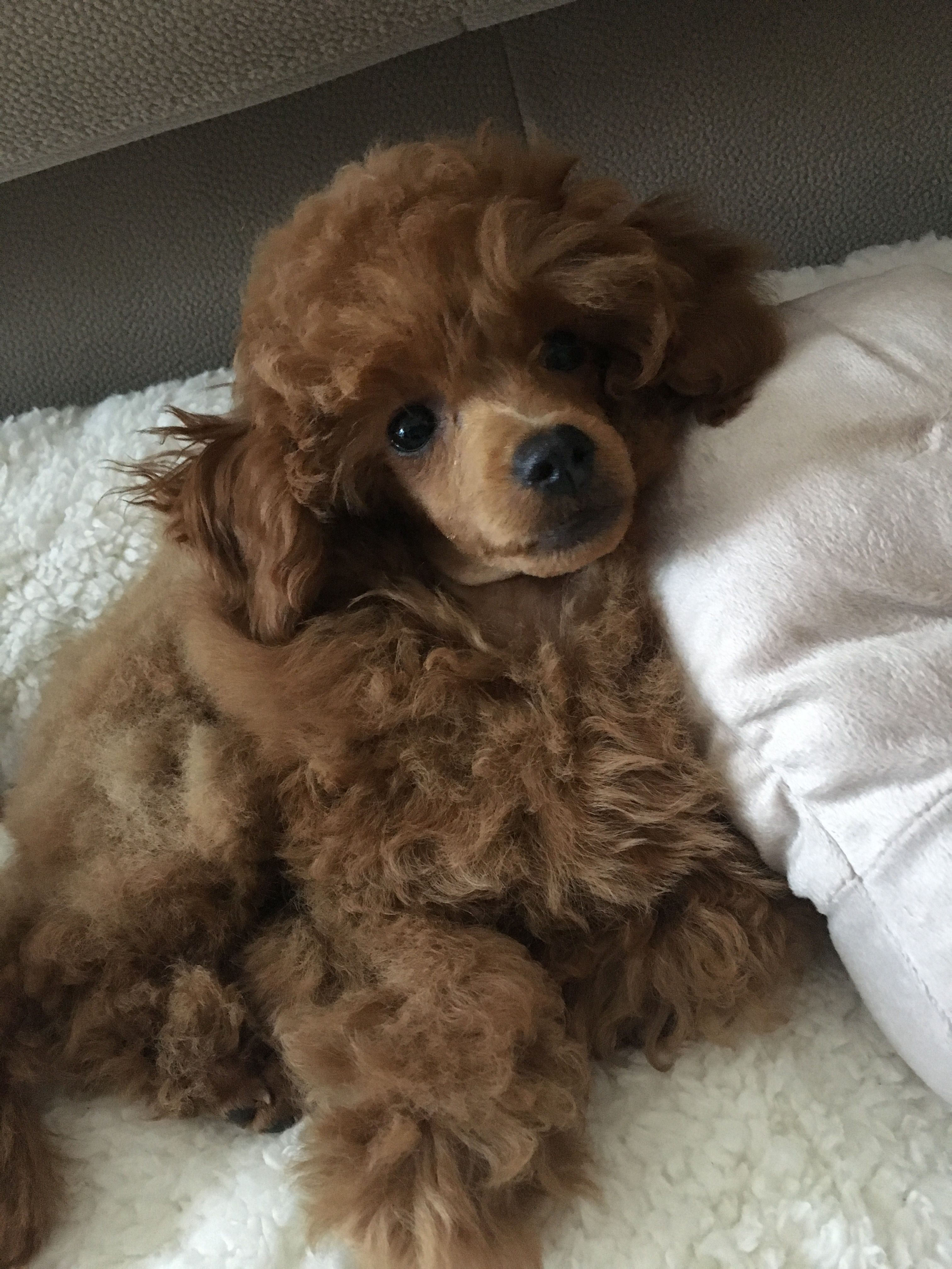 Poodle Toy Toypoodle Red Redtoypoodle Pudel Caniche Uszkar