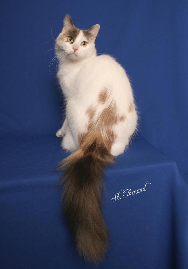 b2db67d498 Image result for turkish van calico  angoracats Lykoi Cat