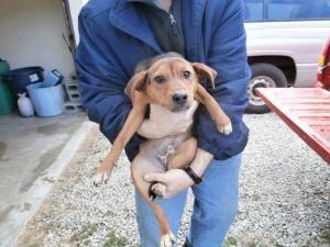 Ohio Urg T Meet Id 40446 An Adoptable Beagle Puppy Dog In