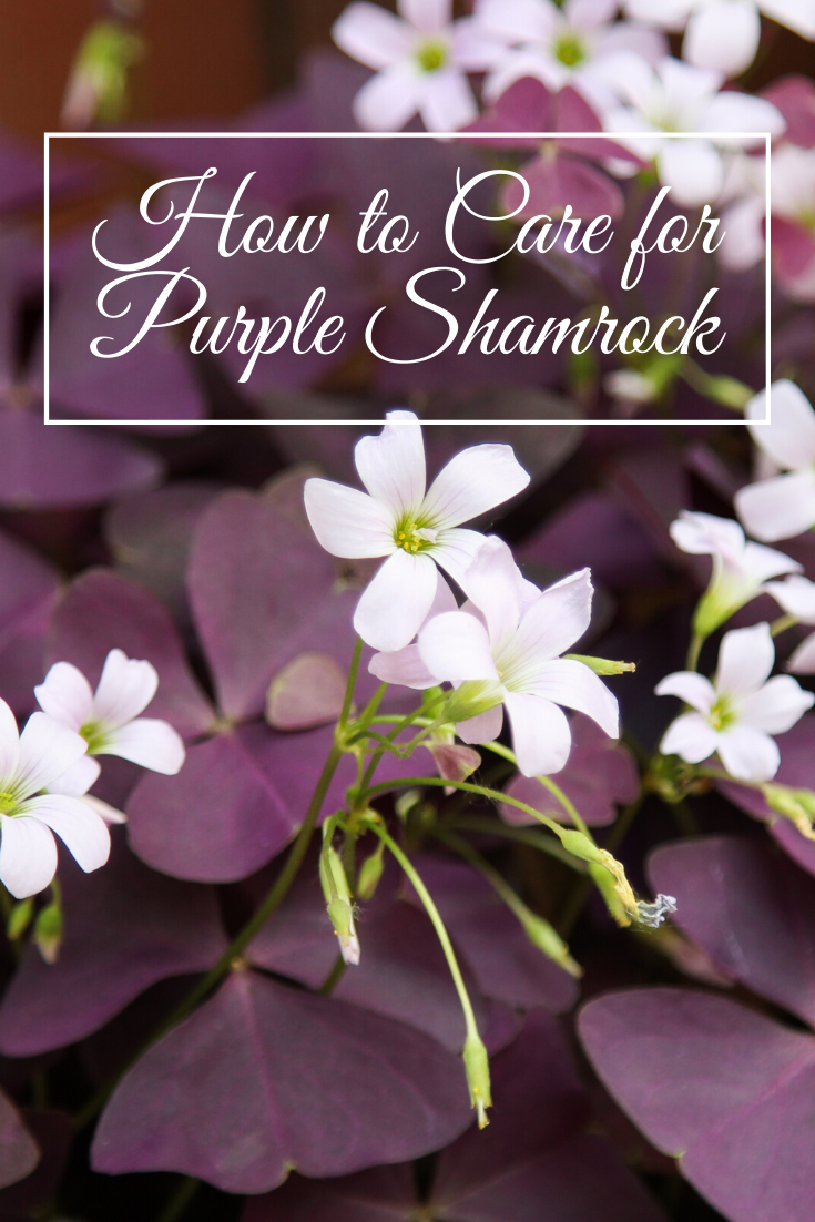 Oxalis Triangularis How To Care For Purple Shamrock Law School Graduation Law School Graduate School