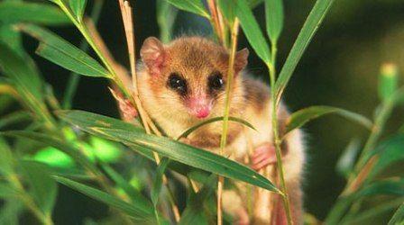 Hewan Langka Di Dunia Monito Del Monte Animals Pinterest