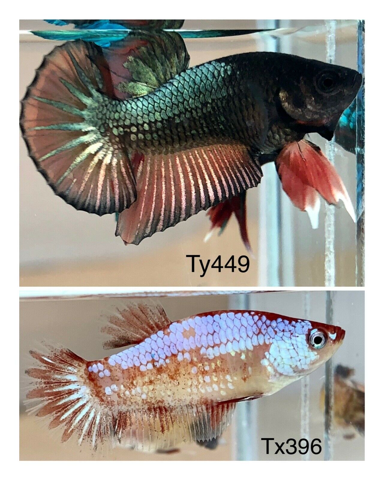 Live Fish Betta Halfmoon Plakat Fancy Pair Free Expedited Shipping Siamese Fighting Fish Betta Tropical Freshwater Fish