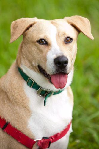 Adopt Labby On Labrador Retriever Morkie Puppies Rottweiler Puppies