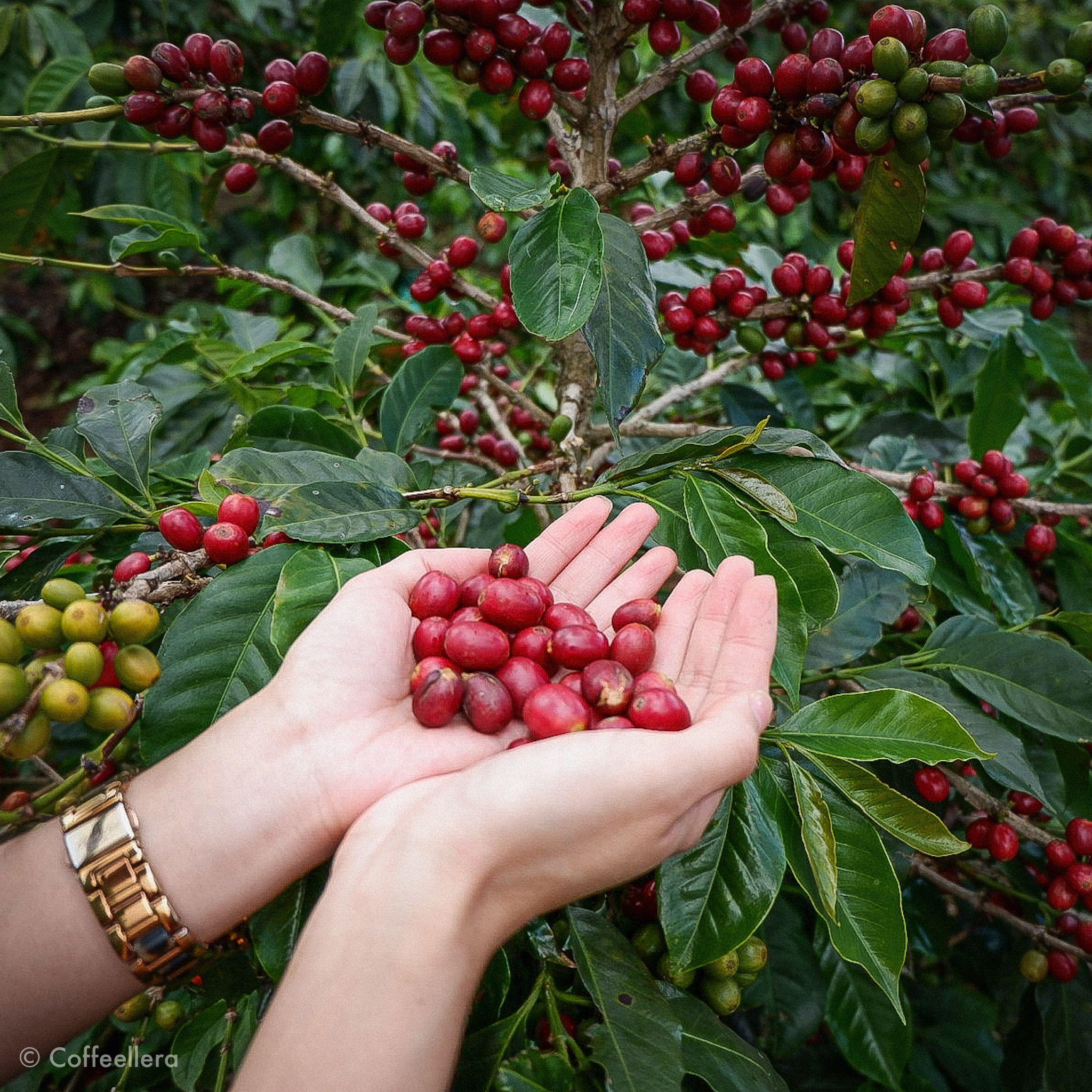 Philippine Coffee Beans