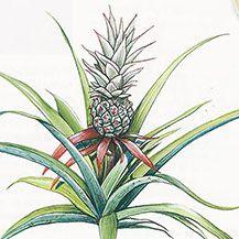 Originaria de América de Sur, crece en todo el mundo en zonas de clima apropiado.