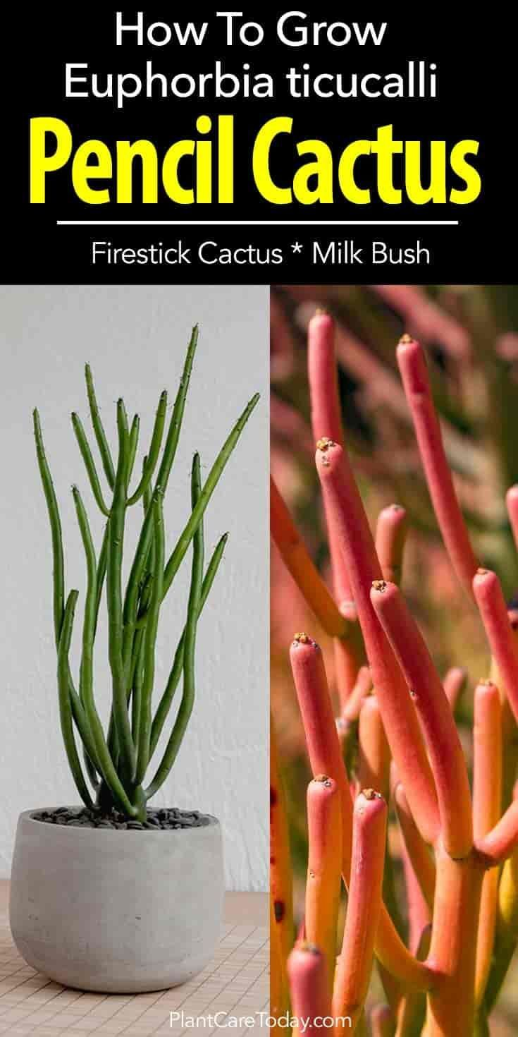 Euphorbia tirucalli, pencil cactus an unusual looking but forgiving South African plant that grows indoors or out. Firestick plant care tips [LEARN MORE]