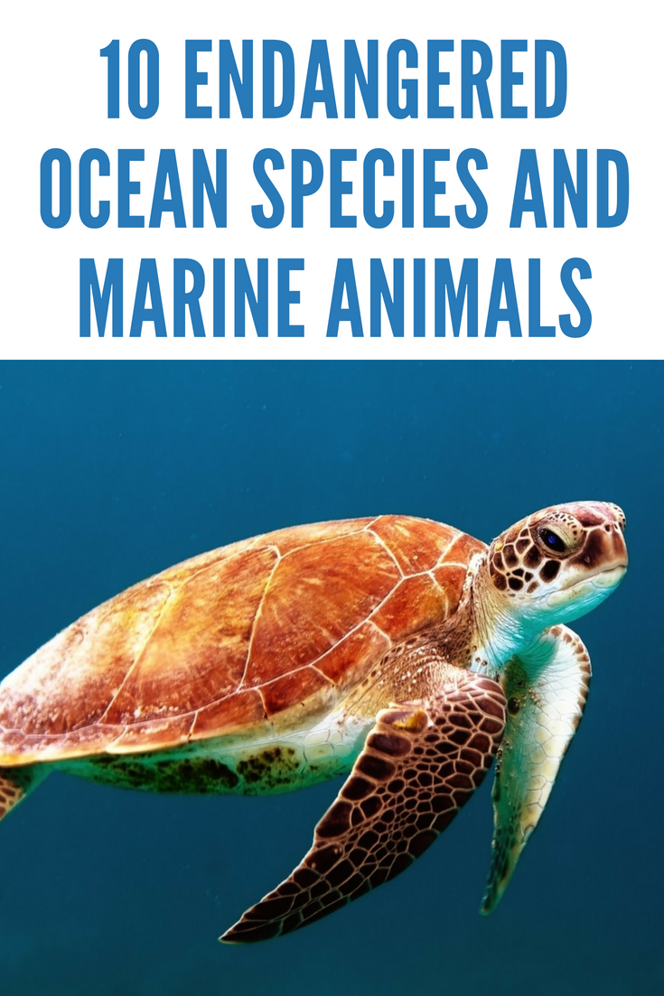10 Endangered Ocean Species and Marine Animals Animals