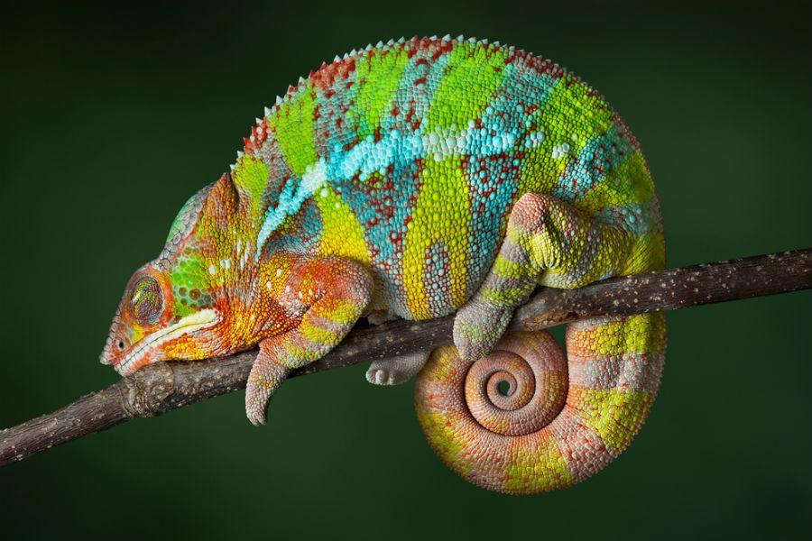 Nove criaturas fascinantes e únicas de Madagascar | #BenjaminKim, #Camaleão, #Criaturas, #Fossa, #Lêmure, #Madagascar, #Mariposa, #Sapo, #Serpente