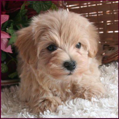 Gallery For Light Brown Maltipoo Maltipoo Dog Dog Breeder