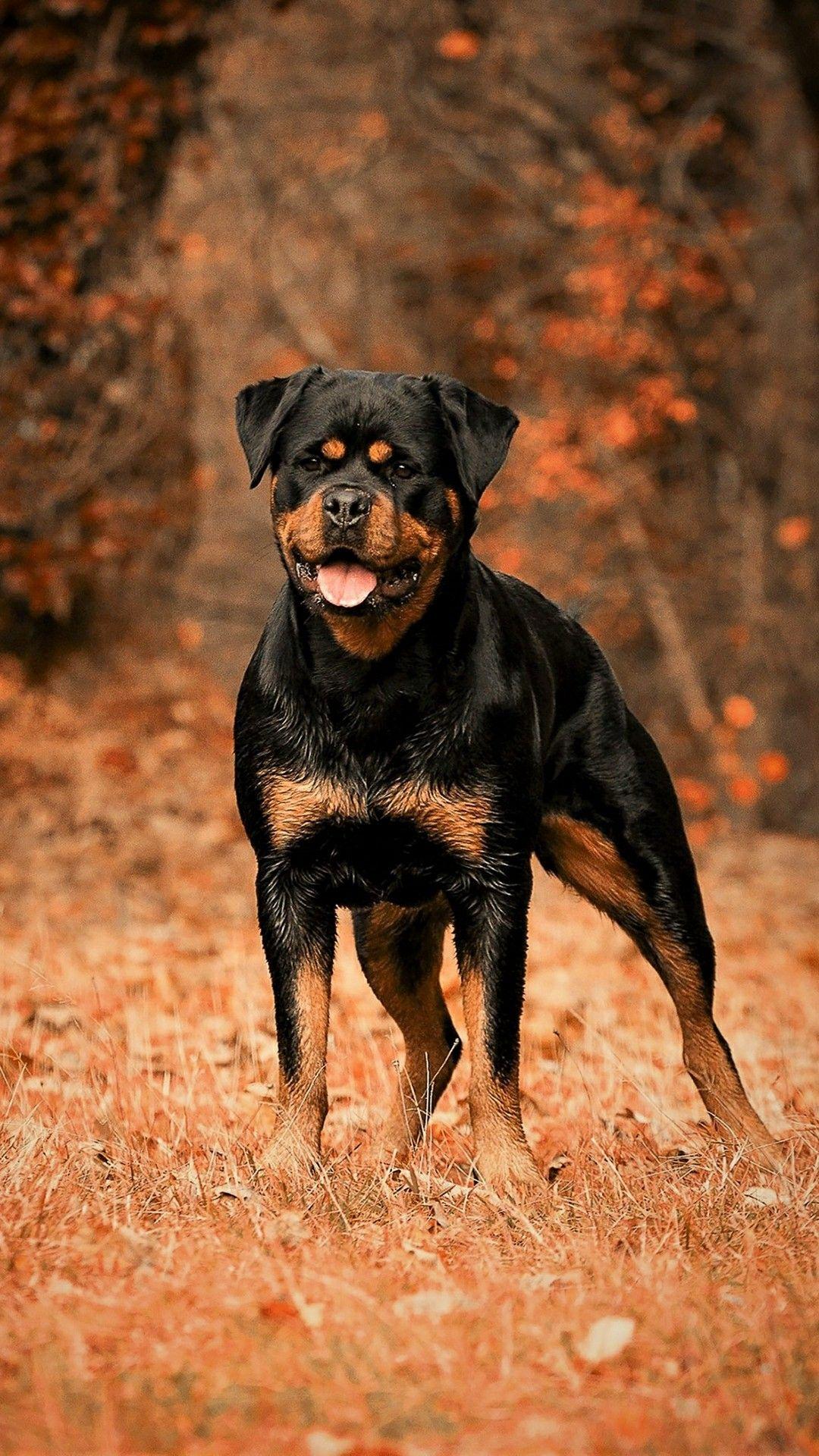 [+] Black Rottweiler Dog