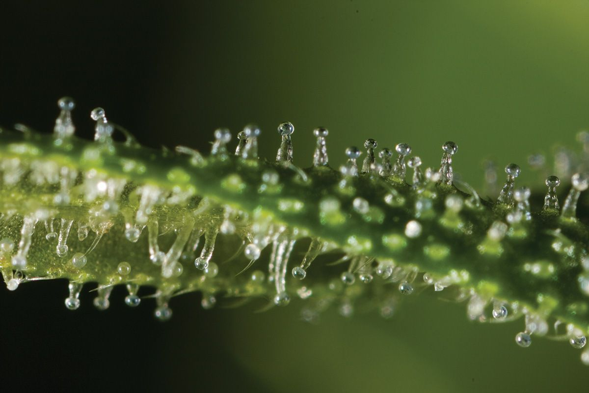 how to make cannabis resin from leaves