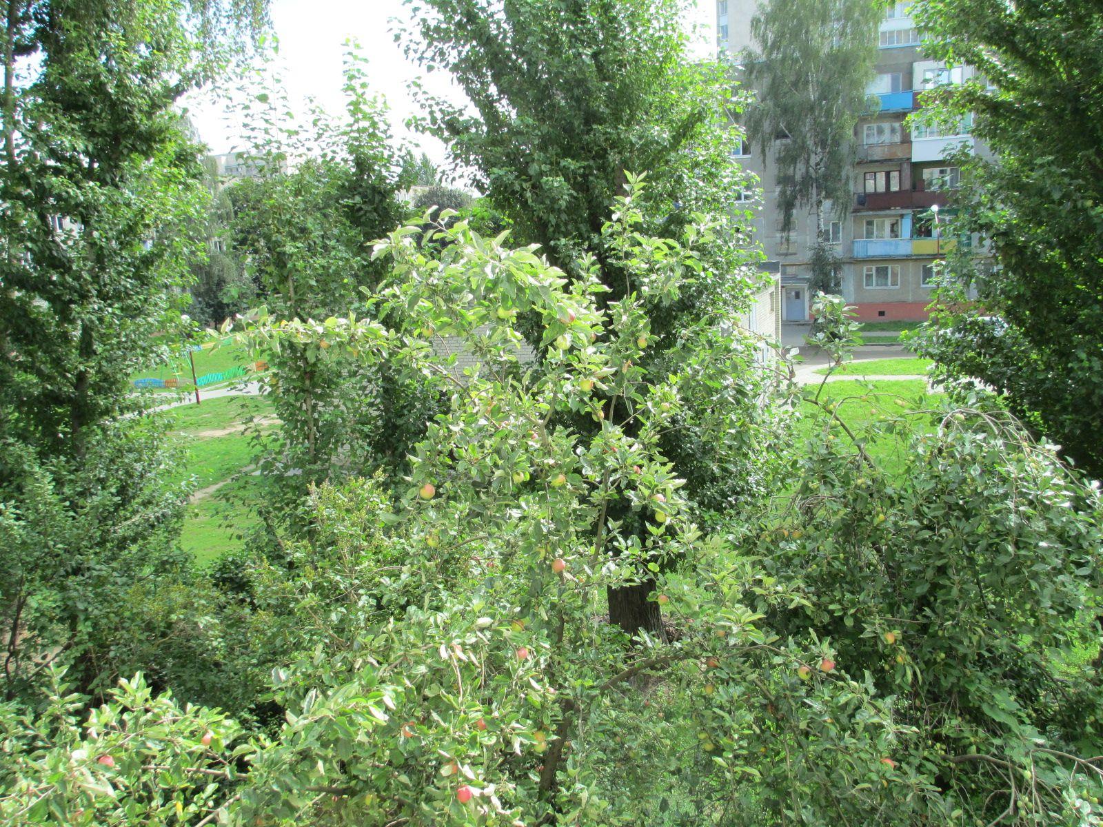 Яблоки из окна, Гродно, 14-08-2016. Фото-1