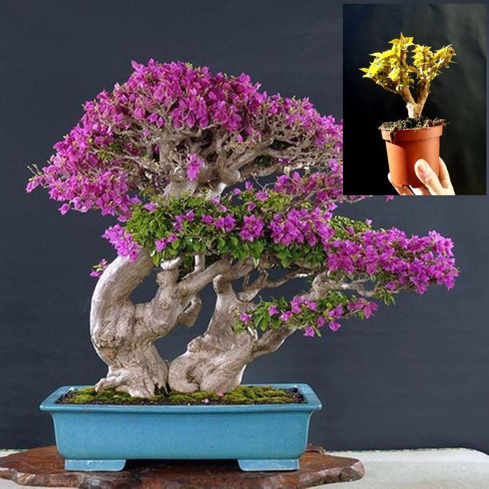 Bougainvillea Pre Bonsai Amazing Plant Approximately 16 Years Old Plant Indoorbonsaitrees Fairy Garden Plants Bougainvillea Bonsai Bonsai Tree Types