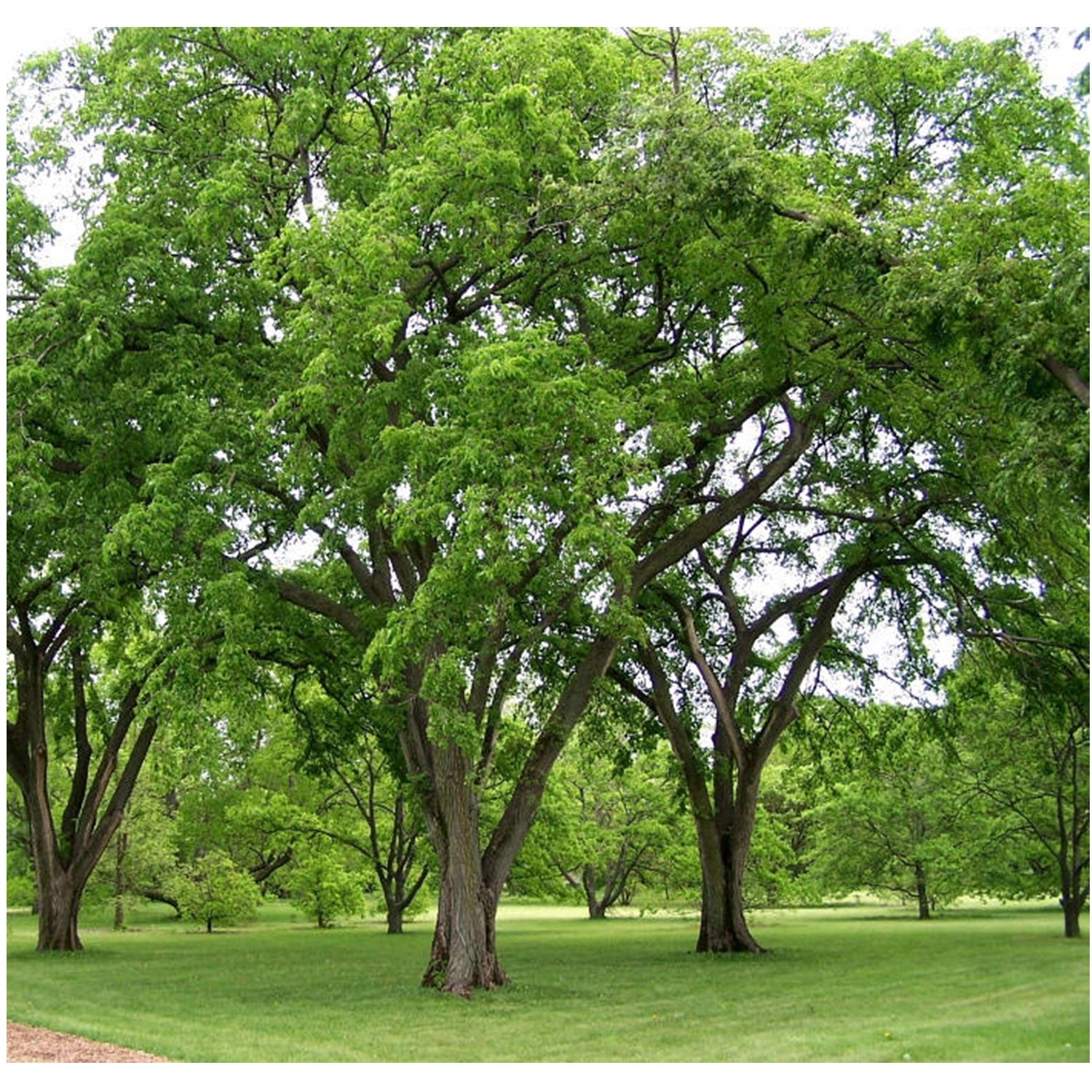 American Elm Tree 1 Gallon Elm Tree Fast Growing Shade Trees