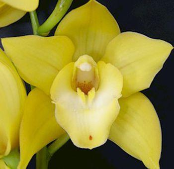 Yellow Cymbidium Orchids Cymbidium Orchids Yellow Orchid Yellow Wedding Flowers