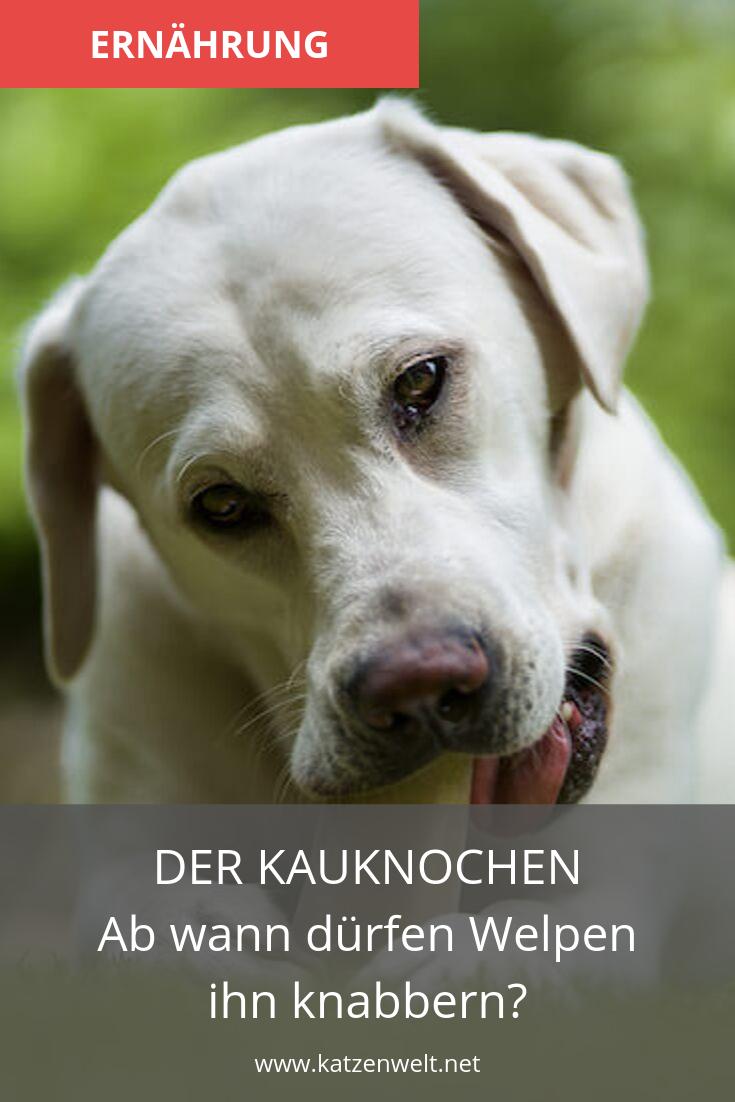 Kauknochen Fur Welpen Was Gibt Es Alles Zu Beachten Welpen Kauknochen Hunde Welpen