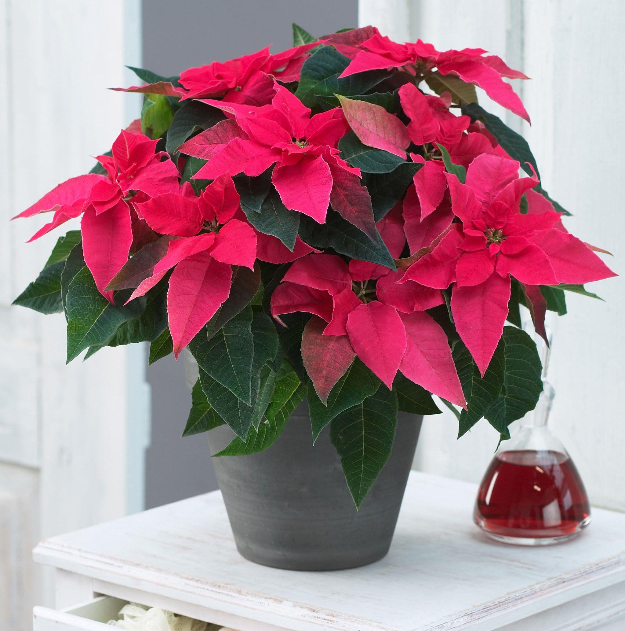 Princettia® Dark Pink Euphorbia Poinsettia plant