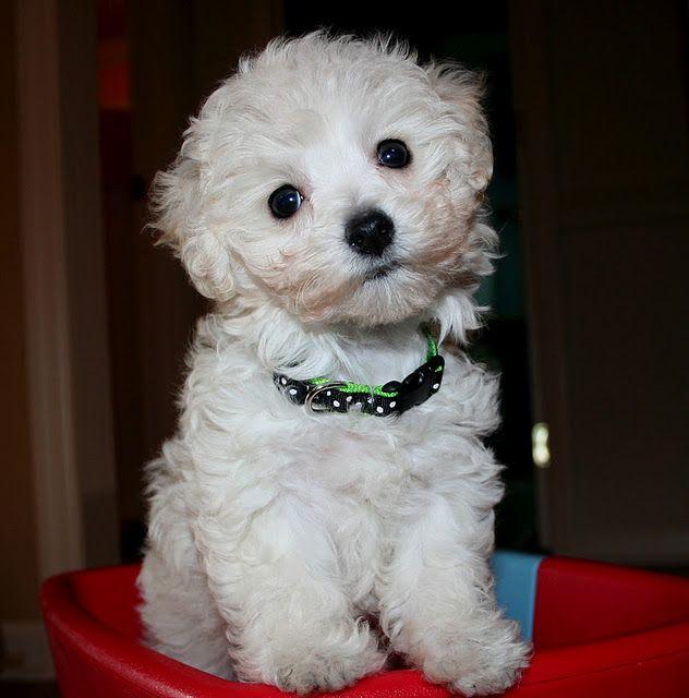 Maltipoo Adorable Maltipoo Dog Maltipoo Puppy Cute Animals