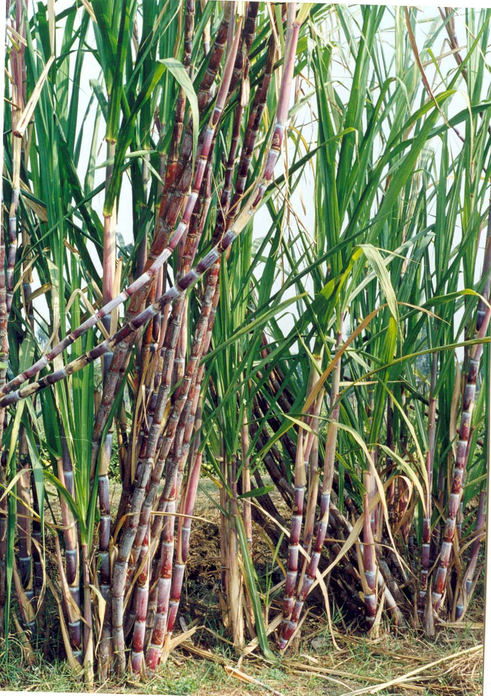 Sugar Cane In Field Sugar Cane Plant Plants Field Wallpaper