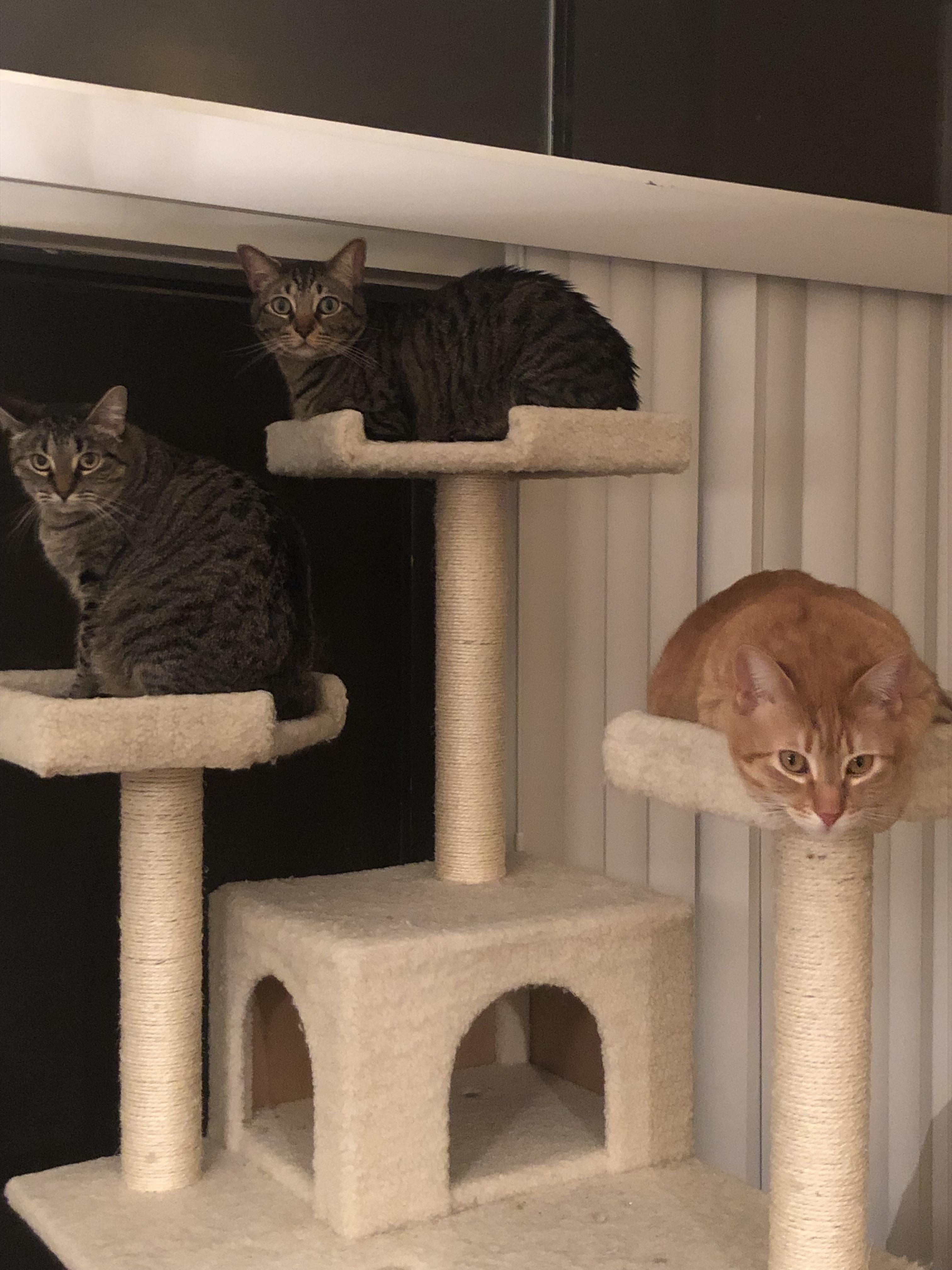 The Elusive Cat Tree O Cute Cats Cats Cat Tree