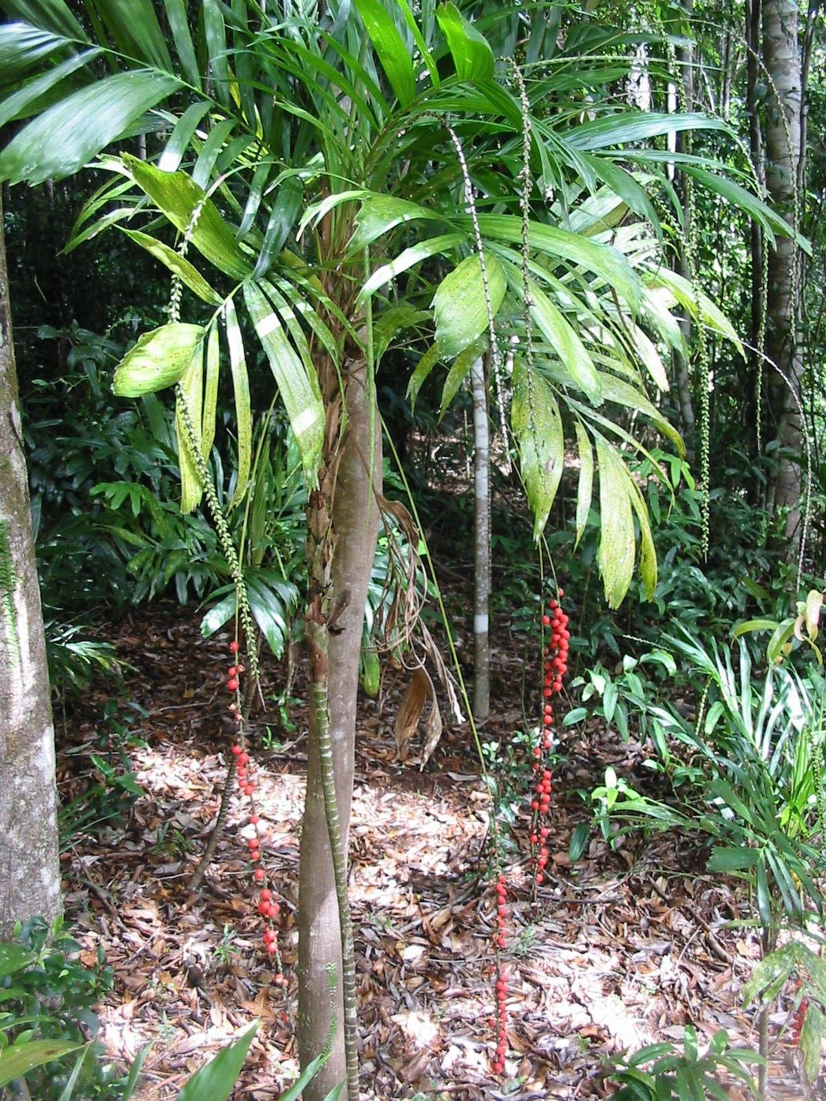 australian rainforest cape york lily