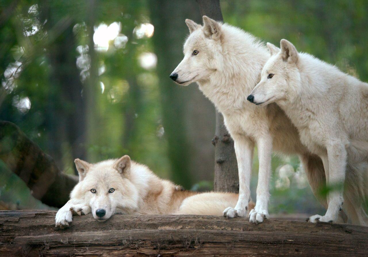 Tundra Animals Lobos