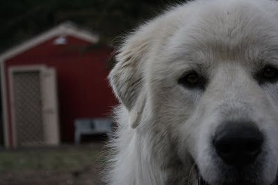 Our polar-bear-dog, Zeke.