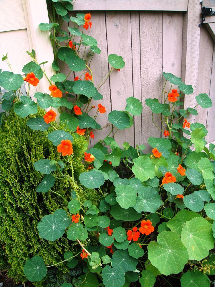 Zaun Begrünen holzzaun begrünen kapuzinerkressen nasturtium #garden | gartenarbeit