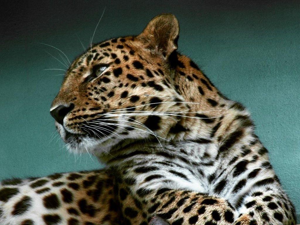 Animales Felino Leopardos Fondo De Pantalla Fondos De: Fondos De Escritorio: Http://wallpapic.es
