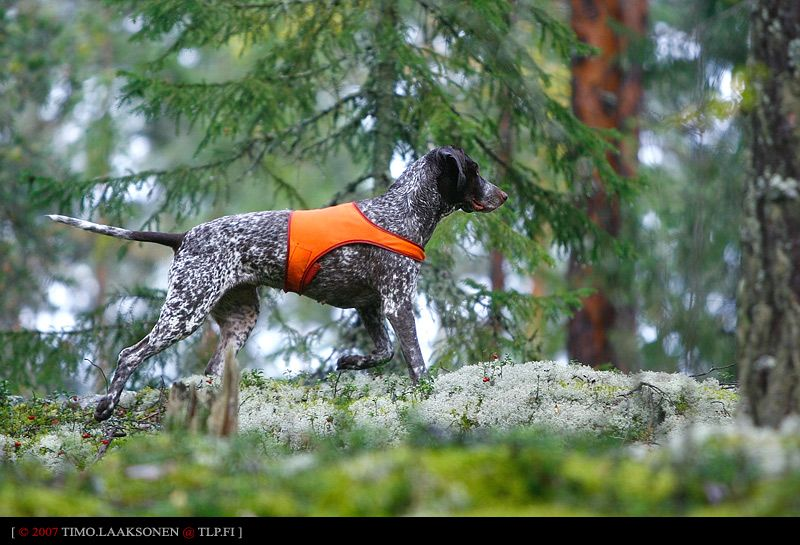 GSP. By Timo Laaksonen. (Woah, a tail!)