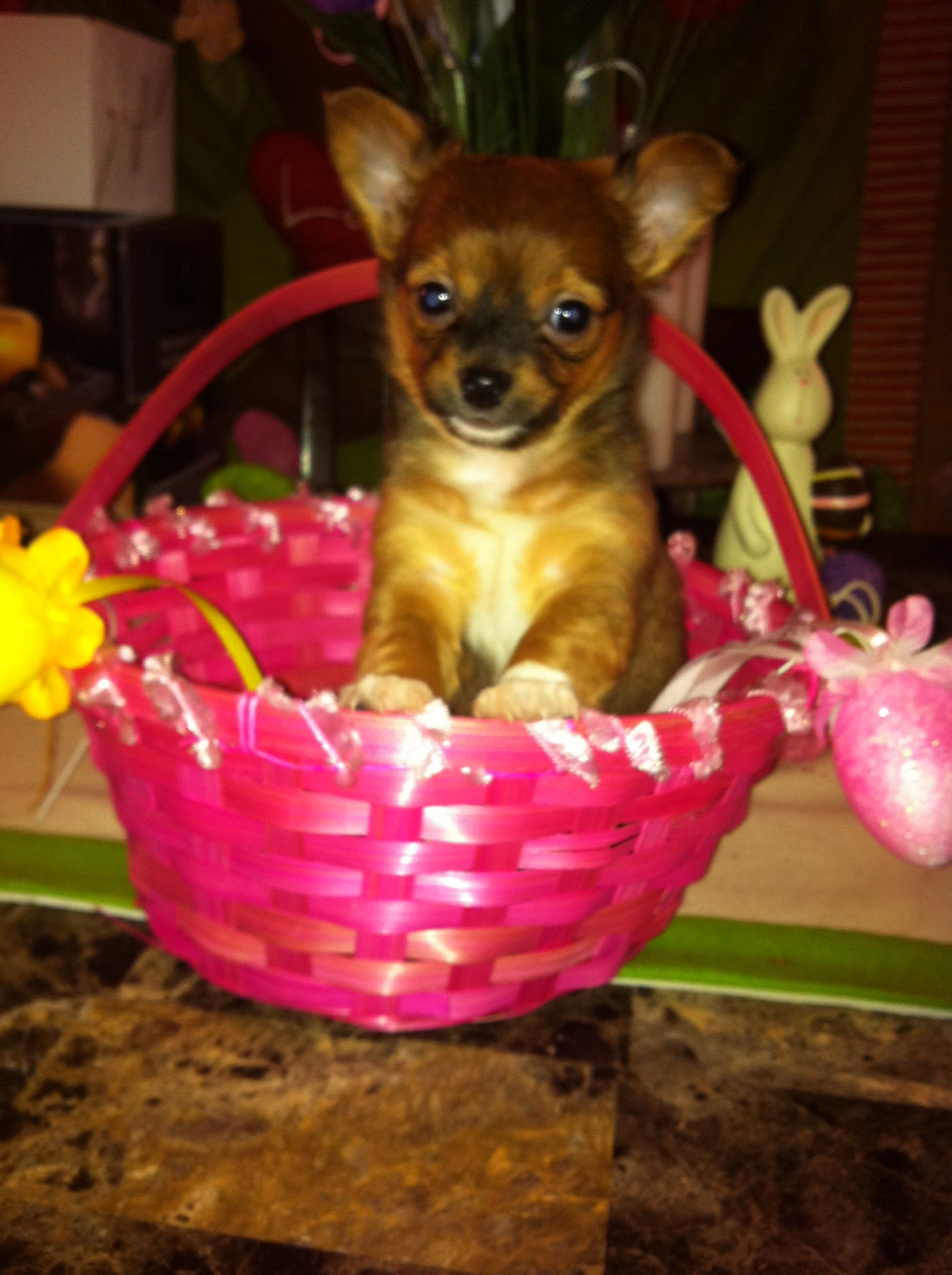 Chorkie Puppies For Sale In Texas Puppies Pets