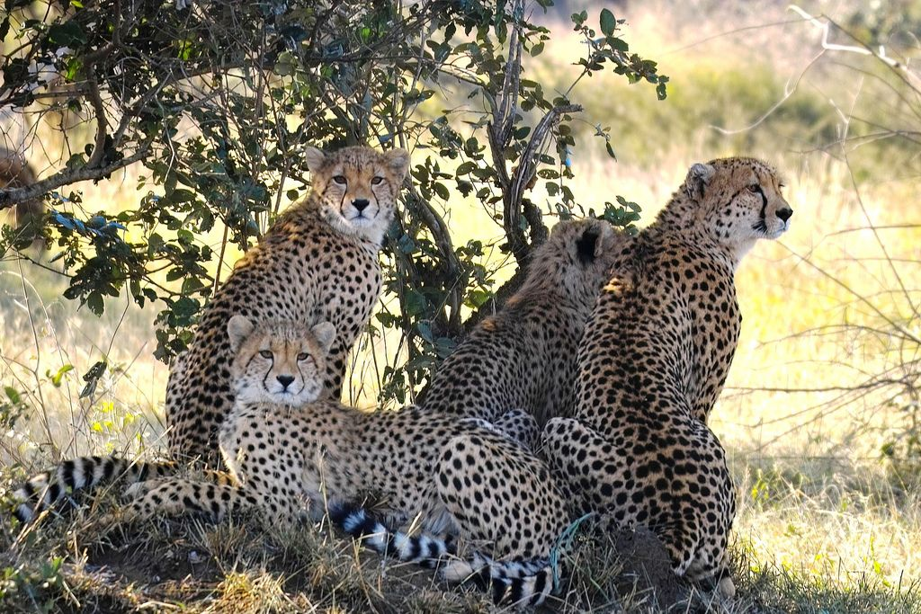 Cheetah Fun Facts About Animals Animals African Animals
