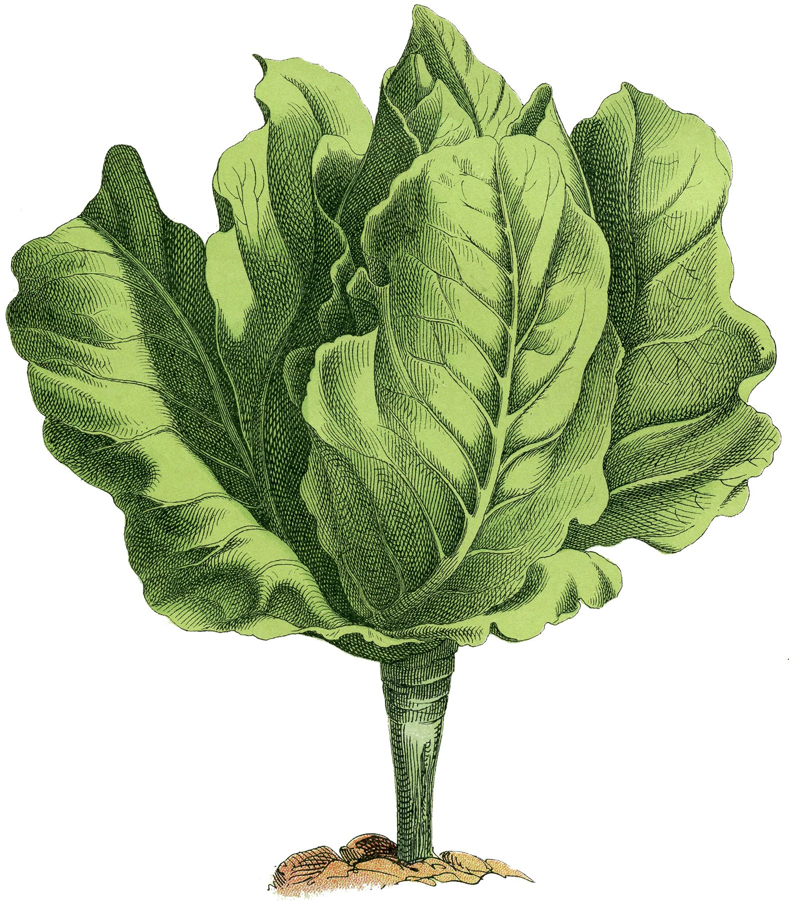 Stock Lettuce Image - Fresh and Lovely! | Graphics fairy ...