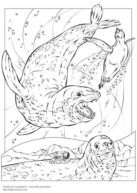 Coloring Page Leopard Seals Img 5743