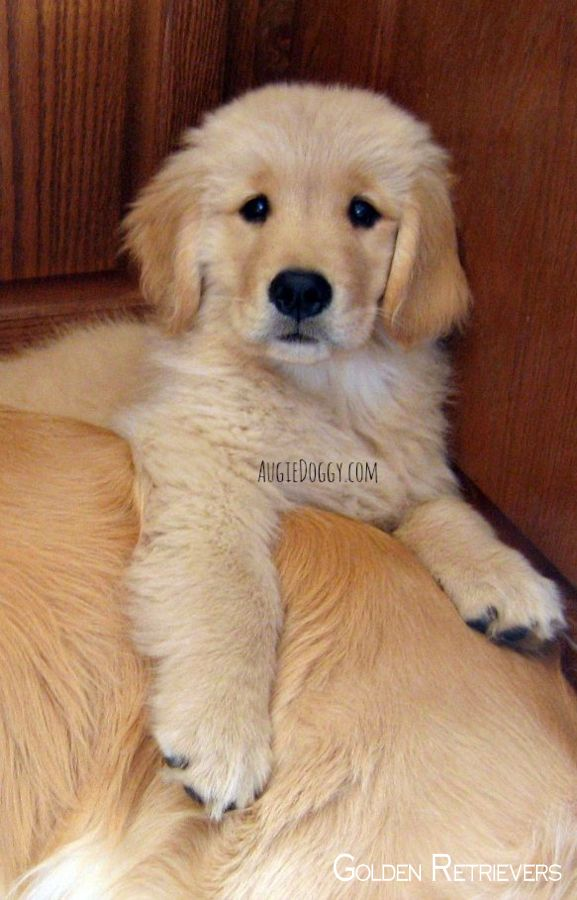 Golden Retriever Noble Loyal Companions Golden Retriever Dogs Golden Retriever Retriever